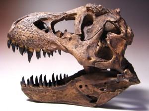 ティラノサウルス1/9スケール頭骨レプリカ