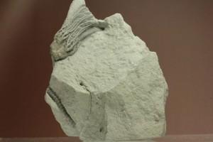 石炭紀のウミユリ化石