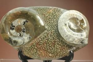 ゴニアタイトプレート化石