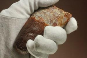 手のひらと大きさを比較!スピノサウルス歯