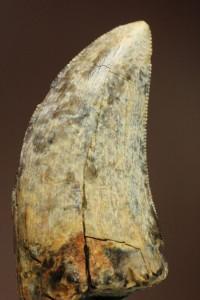 モンタナ州産、ゴルゴサウルスの歯化石