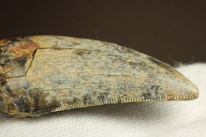 アルバートサウルスに近種の、ゴルゴサウルス