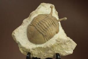新着化石 三葉虫アサフス・コワレフスキー