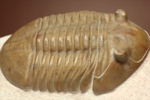 ロシアン三葉虫、アサフス種