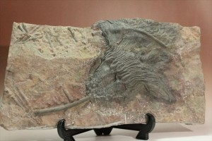 最大長さ38cm!スケールの大きな、大型ウミユリ化石
