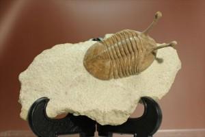 新着化石!三葉虫アサフス・コワレフスキー