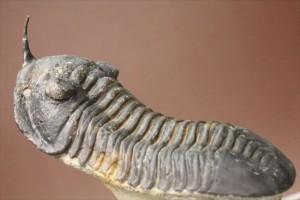 新着化石!モロッコニテス三葉虫
