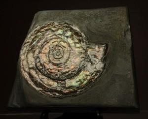 直径7cmの大ぶりフィロセラスアンモナイト化石