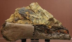 掘現場をそのままコレクションするチャンス!エドモントサウルスのスラブ標本