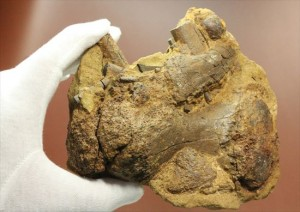 エドモントサウルスのスラブ標本