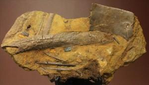 新着化石 エドモントサウルススラブ標本