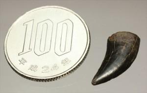 ロングカーブ2cmです。ドロマエオサウルス歯化石