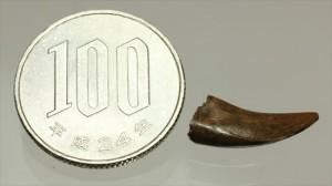 ロングカーブ20mmです。ドロマエオサウルスの美麗歯