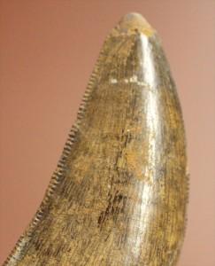 アルバートサウルスの歯化石。保存状態良好!