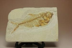 ワイオミング州産 約5000万年前の魚化石