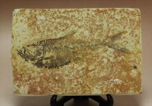 魚化石ワイオミング州ディプロミスタス(Diplomystus)
