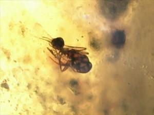 ルーペで見てみると、中に虫が閉じ込められています!