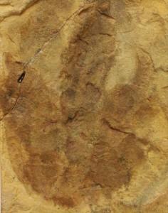 小型獣脚類グラレーターの足跡化石です。