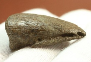 生々しい足爪化石です。