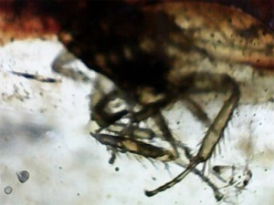 古代の虫がタイムカプセルのごとく内包