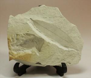 輪郭をしっかり残した「この葉」の化石