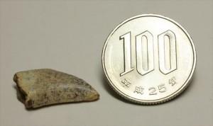 ロングカーブ計測2.2cmのドロマエオサウルス歯化石。