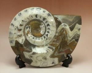 迫力の直径22cm!1.7キロオーバーのゴニアタイトアンモナイト(goniatite)