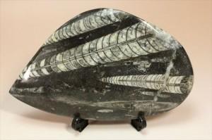 アンモナイトの祖先にあたる、オルソセラスのマルチプレート化石