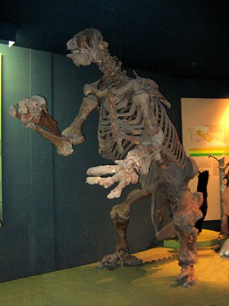 Probably the genus most famous mount, the Smithsonians Eremotherium laurillaridi.