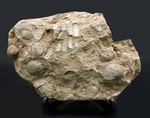 マニアックシリーズ!宮城県産、三畳紀後期の示準化石、二枚貝、モノチス(Monotis)のマルチプレート化石