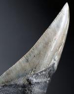 特筆すべき、すこぶる上質なセレーションとカラフルなエナメル質を保持したメガロドン(Carcharodon megalodon)の歯化石