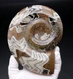 直径最大部16センチ、ビッグサイズ!茶と白のツートン、幾何学的模様が人気の古代の頭足類、ゴニアタイト(Goniatite)の化石