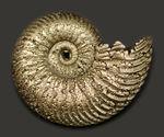 人気!完全品、ロシア産黄鉄鉱化アンモナイト、クエンステッドセラス(Quenstedotoceras)の化石