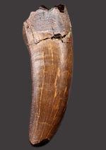 化石コレクションの王様!ロングカーブ計測7センチ!セレーション残存、光沢が備わったエナメル質、ハイクラスのティラノサウルス・レックス(Tyrannosaurus rex)の歯化石