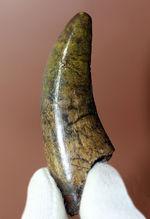 チャンスプライス!恐竜ファン必見、この弧の美しさを見よ!ティラノサウルス・レックス(亜成体)の流麗歯化石