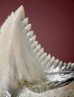 展示ケース付き。およそ1000万年前に絶滅した古代のイタチザメの仲間、ヘミプリスティス・セラ(Hemipristis Serra)の歯化石。