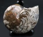古生代デボン紀の海中を代表する生物、ゴニアタイト(Goniatite)の完全体の化石