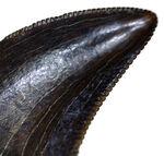 セレーションとエナメル質ともに一級!ドロマエオサウルス科と思われる小型獣脚類の歯化石