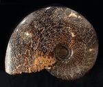 殻全体が縫合線に覆われた、大迫力のプラセンチセラス(Placenticeras sp.)の化石。米国サウスダコタ州産