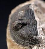 一風変わった、古生代オルドビス紀の三葉虫、オンニア(Onnia)の化石