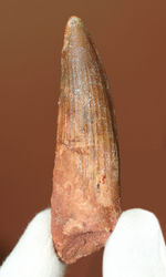 史上最大の動物食恐竜、スピノサウルス(Spinosaurus)のいかにも典型的な歯化石