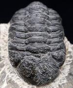 モロッコのデボン紀の地層より採集された三葉虫、リードプス(Reedops)