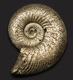 直径最大部29ミリのビッグサイズ!ロシア産の黄鉄鉱化アンモナイト、クエンステッドセラス(Quenstedotoceras)の化石