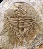 生物史の原点!「最高の」と評しても全く大げさではない、素晴らしい保存状態を維持している、最古の三葉虫の一つ、オレネルス・フォーレリ(Olenellus fowleri)の完全体