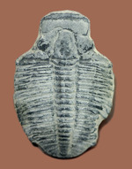 4センチサイズ。カンブリア紀の三葉虫、エルラシア・キンギ(Elrathia Kingi)