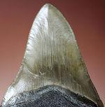 ロングカーブに沿って16.8cm、最大級のメガロドン(Carcharodon megalodon)の巨大歯化石