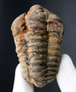 ファーストコレクションとしておすすめ!大型で立体的なオルドビス紀の三葉虫化石、ディアカリメネ・ウーズレグイ(Diacalymene ouzregui)