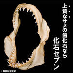 Isurusoxyrinchus(アオザメ)
