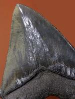 おすすめ!長辺計測142ミリというメガサイズ、美しいセレーションが備わったメガロドン(Carcharodon megalodon)の歯化石