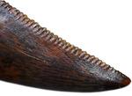 アウター、インナーともにナイスセレーション!アベリサウルス科の歯化石